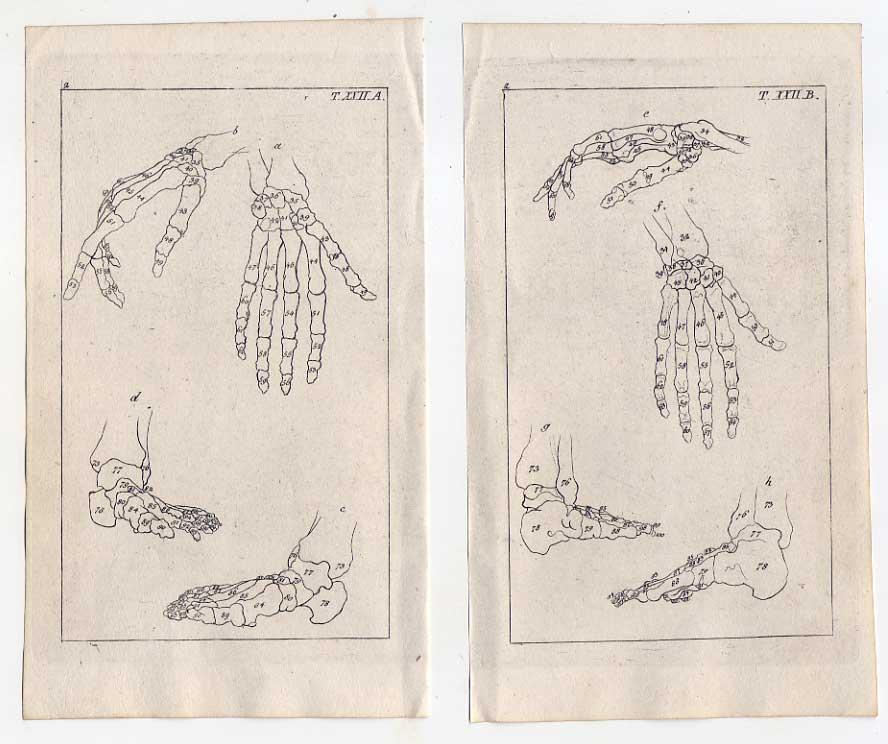 Knochen-Hand-Fuß-Medizin-Anatomie - 2 Kupferstiche 1810 G. T. ...