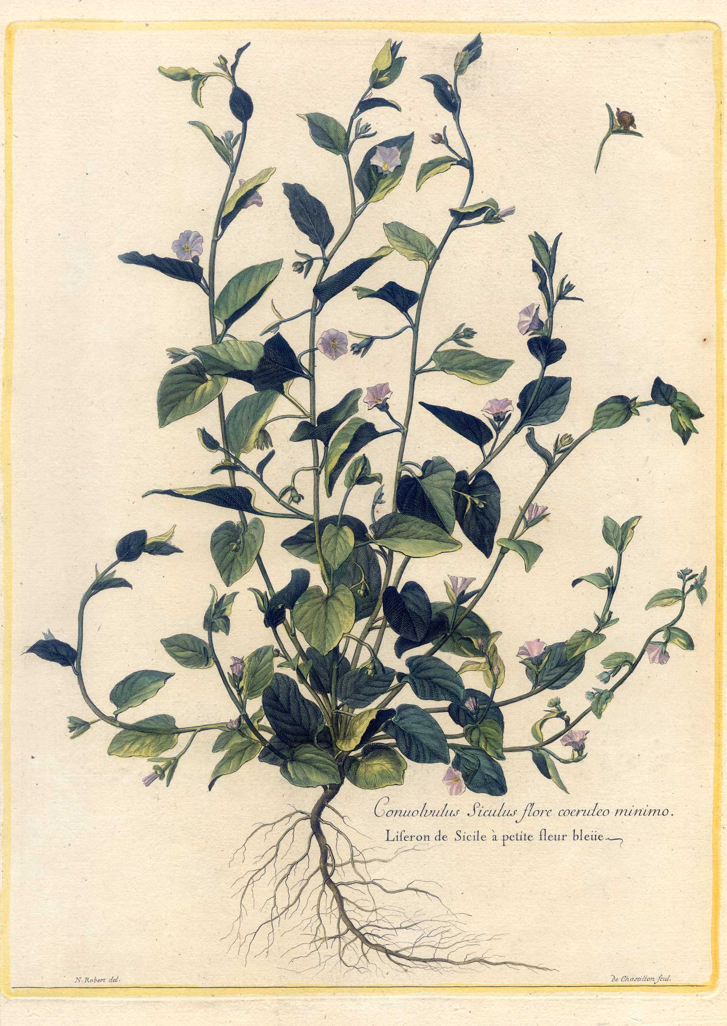 Conuolvolus - Blume-Botanik - Kupferstich Robert-Chastillon 1680 ...